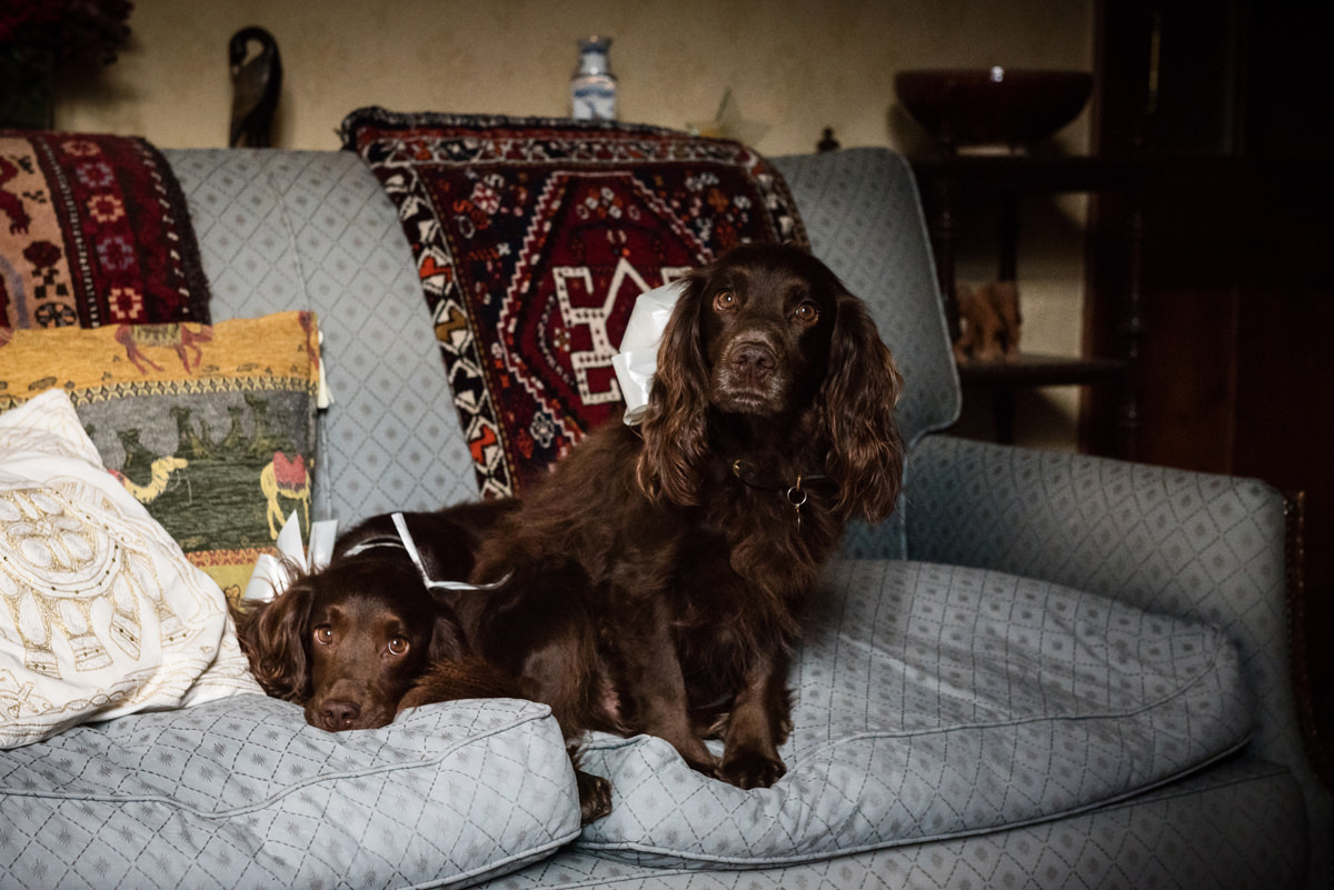 Two cocker spaniel dogs waiting on a sofa while the bride gets ready