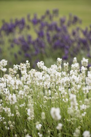 Lavender at Notley Abbey